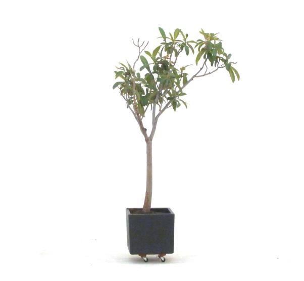 EriobotryaJaponica