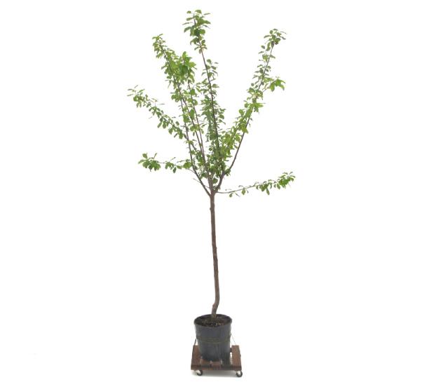 PrunusCerasifera