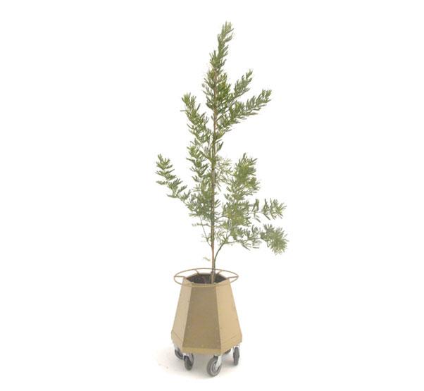 Acacia Plectolabis
